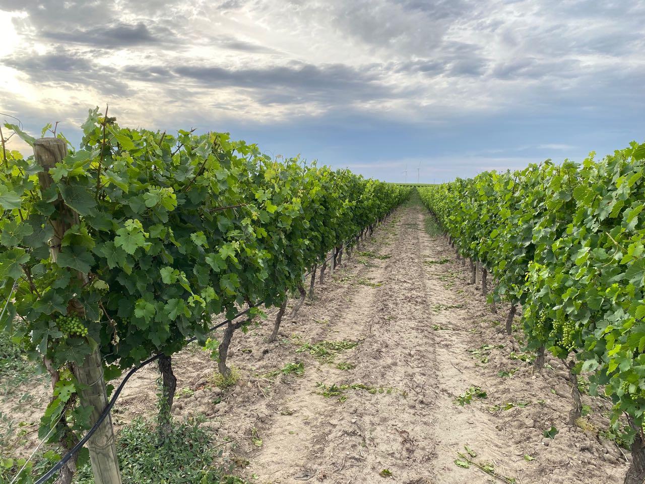 Vitigno di vino rosato a Cantine Spelonga